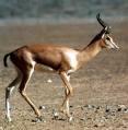 http://www.prise2tete.fr/upload/maitou22-gazelle.jpg