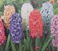 http://www.prise2tete.fr/upload/maitou22-jacinthes.jpeg