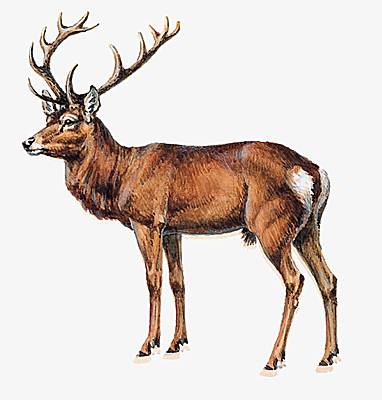 http://www.prise2tete.fr/upload/masab-cerf.jpg